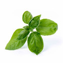 Organic Sweet Basil Lingot®