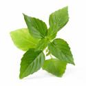 Organic Thaï Basil Lingot®