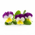 Lingot® Driekleurig viooltje BIO