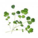 Organic Salad burnet Lingot®