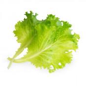 Butterhead lettuce Lingot®