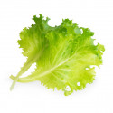 Organic Butterhead lettuce Lingot®