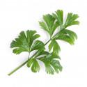 Organic Celery Lingot®