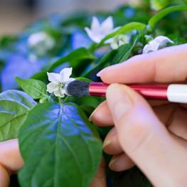 Pinceau de Pollinisation