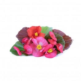 Begonia Lingot®