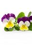 Essbare Blumen
